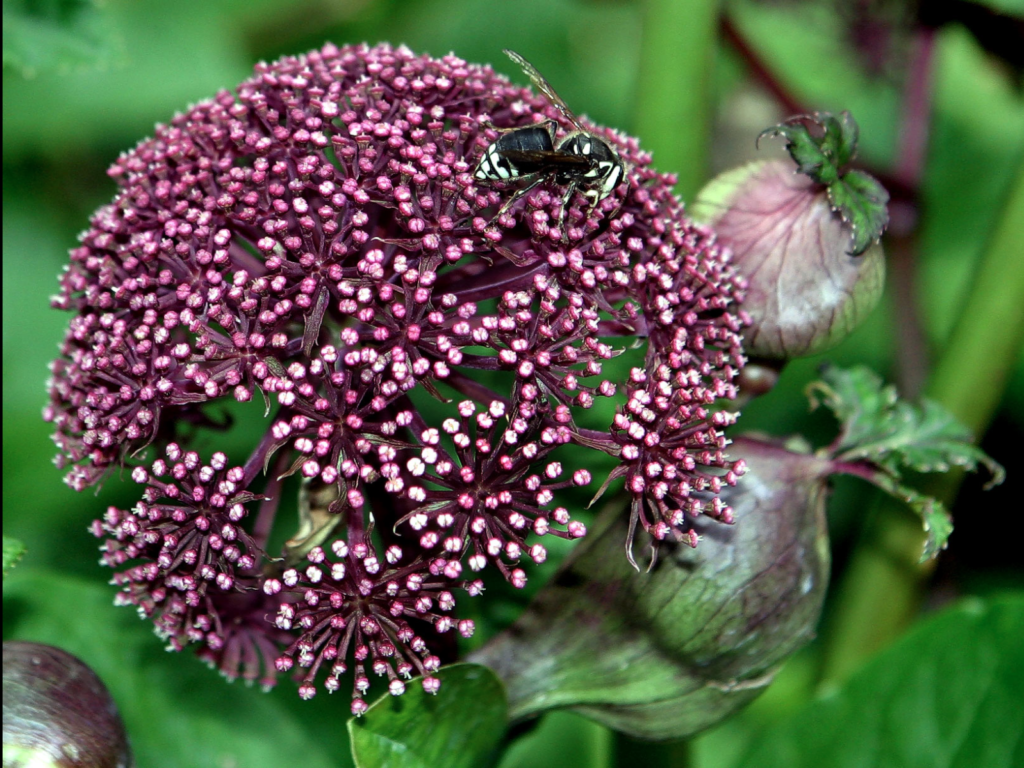 Angelica Gigas Wikipedia